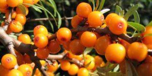 Трава душица: польза, лечебные свойства и противопоказания