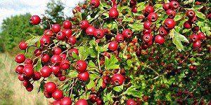 Сбор плодов боярышника