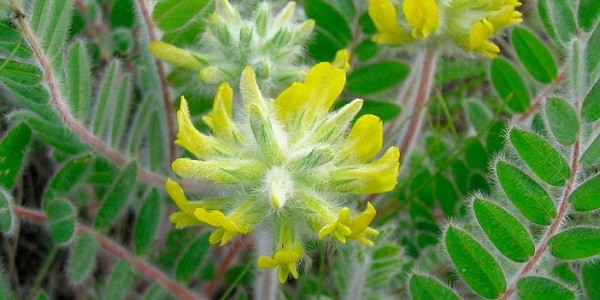 Астрагал шерстистоцветковый