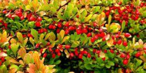Астрагал шерстистоцветковый – лечебные свойства и противопоказания, рецепты. Где растет астрагал?