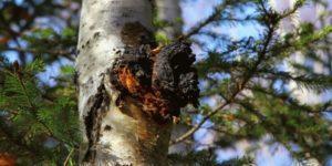 Кора осины обыкновенной: лечебные свойства и противопоказания