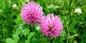 Элеутерококк растение полезные свойства и противопоказания
