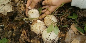 Заготовка гриба веселка